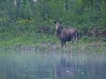 Elchkuh im Morgennebel am Wasser